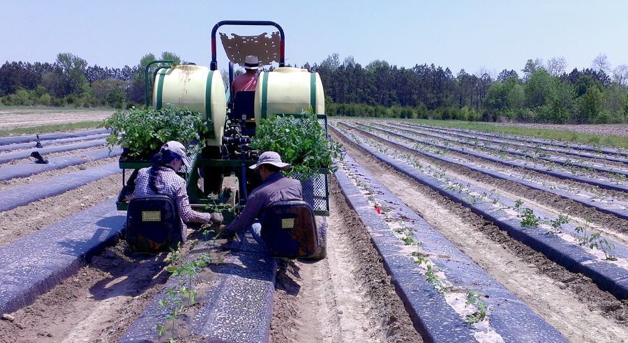 spring_tomatoes_planting
